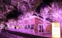 まもなく冬桜
